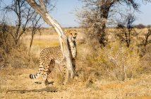 fotonomaden-portfolio-gepard