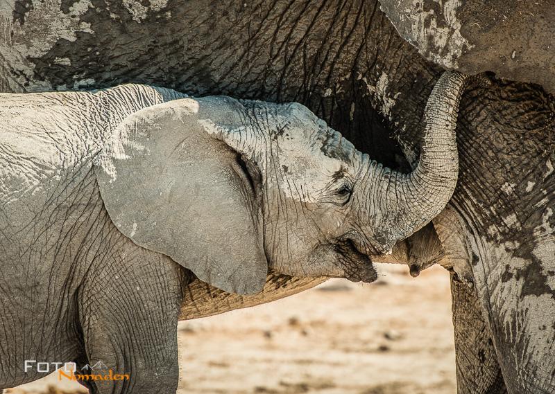 fotonomaden-elefantenjunges-trinkt