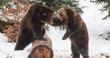 Bären im bayerischen Wald