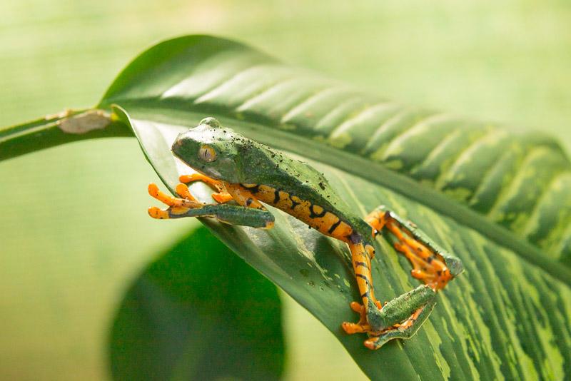 Costa Rica Fotoreise Frosch auf Blatt
