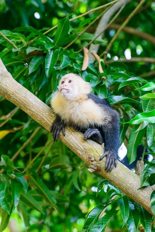 Costa Rica Weißschulter-Kapuzineraffe im Baum