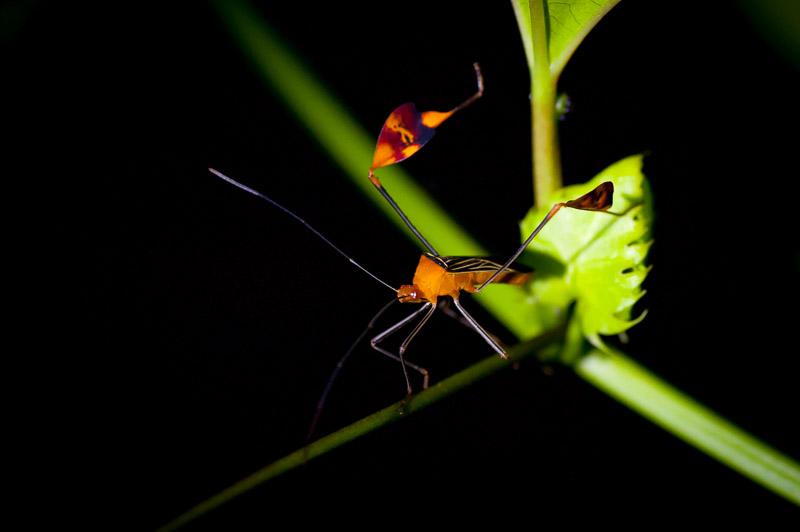 Costa Rica Insekt Nachtaufnahme