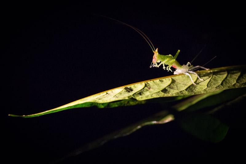 Costa Rica Fotoreise Insektenfoto Nightwalk