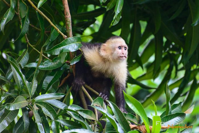 Costa Rica Tierfotografie Kapuzineräffchen