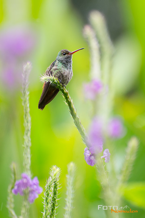 Costa Rica Tierfotografie Kolibri
