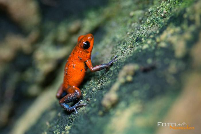 Costa Rica Tierfotografie Blue Jeans Erdbeerfröschchen