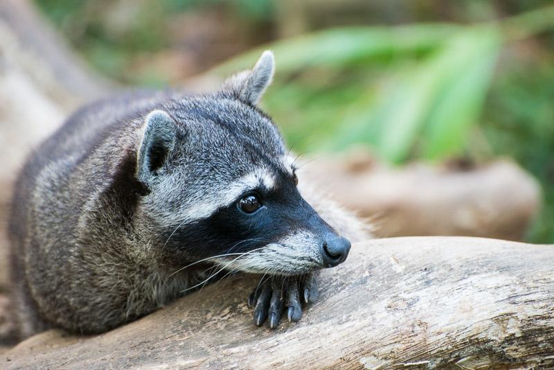 Costa Rica Tierfotografie Waschbär