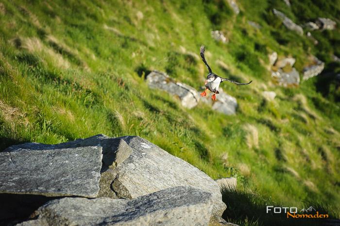 Papagei Taucher fotografieren im Lande-Anflug