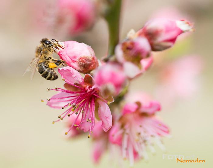 Biene auf Pfirsichblüte