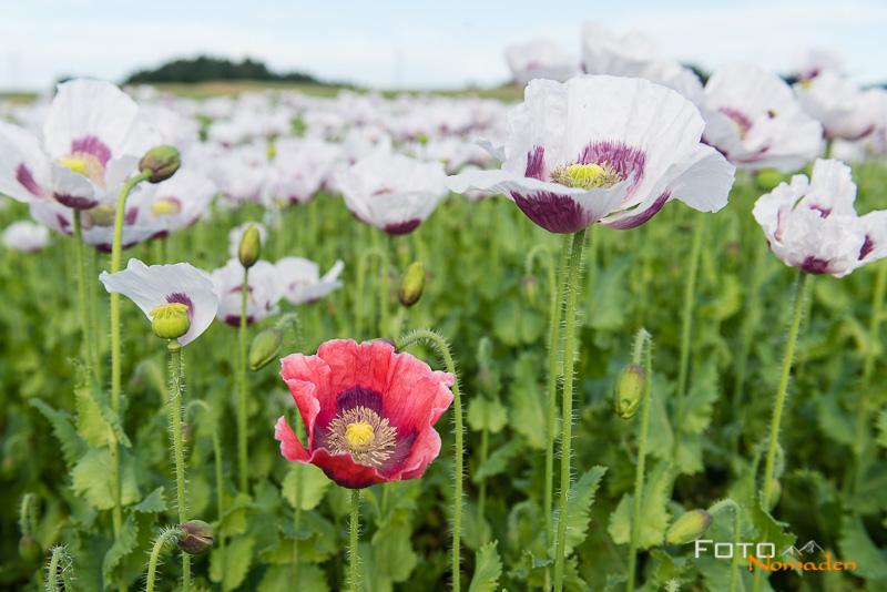 Mohnfeld in der Blüte