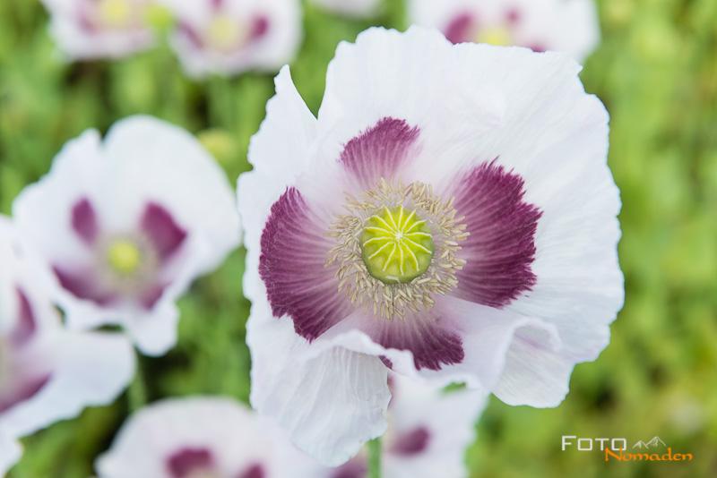 Weisse Mohnblüte