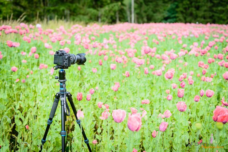 Frühlingsbilder - Stativ im Mohnfeld