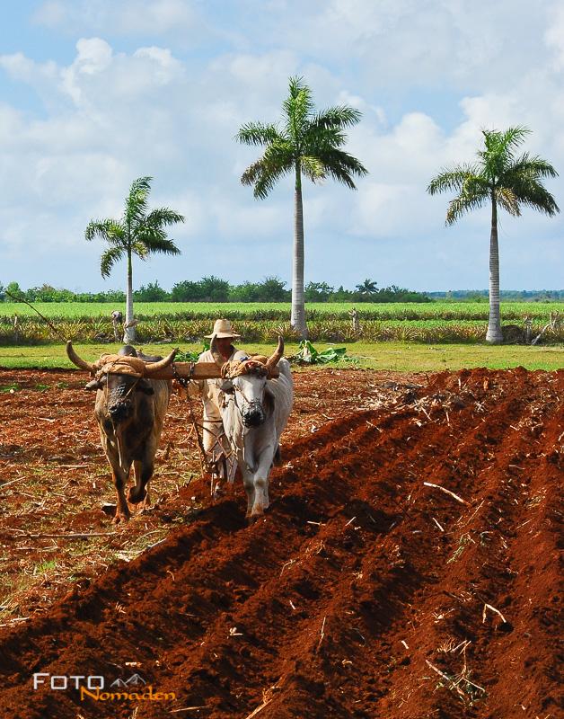 Fotonomaden-Foto-Analyse-Ochsen-Kuba