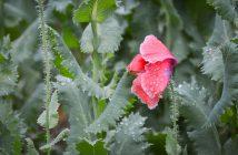 Mohnblüte im Regen - Workshop Fotonomaden