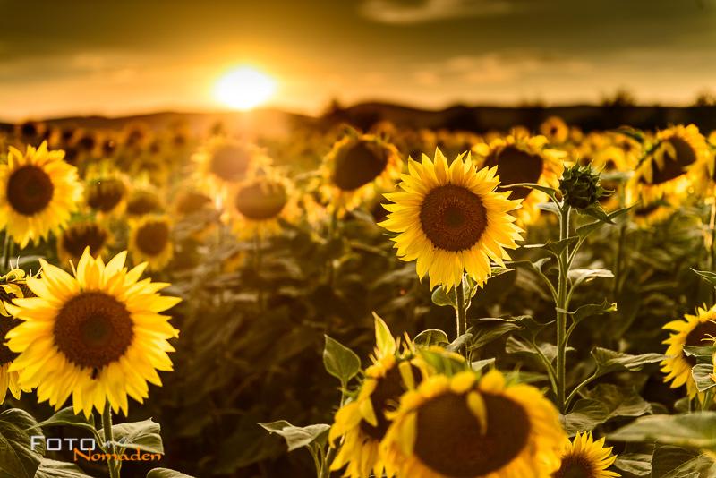 fotonomaden-sonnenuntergang-sonnenblumen