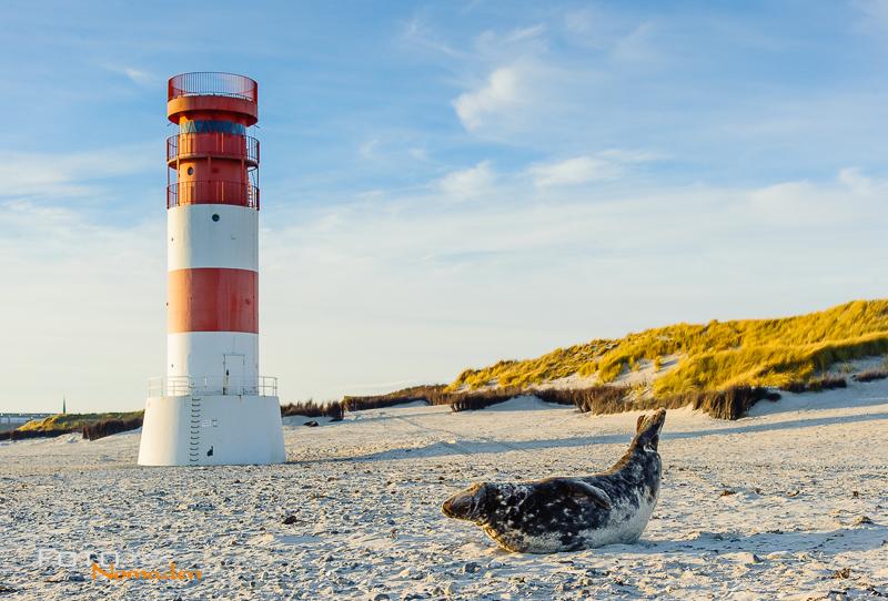 Foto von Robbe vor rot-weißem Leuchtturm auf Helgoland