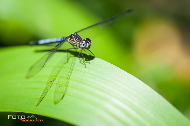 fotonomaden-nahaufnahmen-libelle