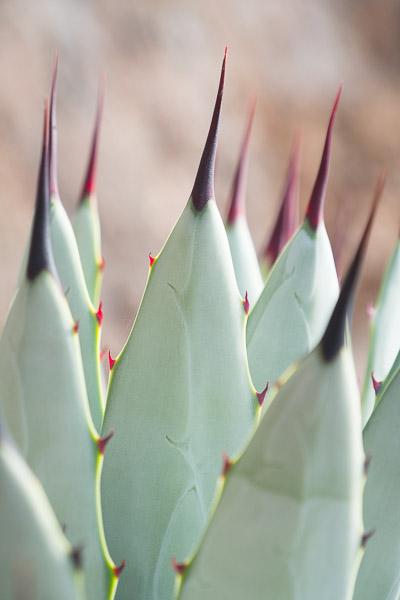 Nahaufnahme Kaktusspitzen