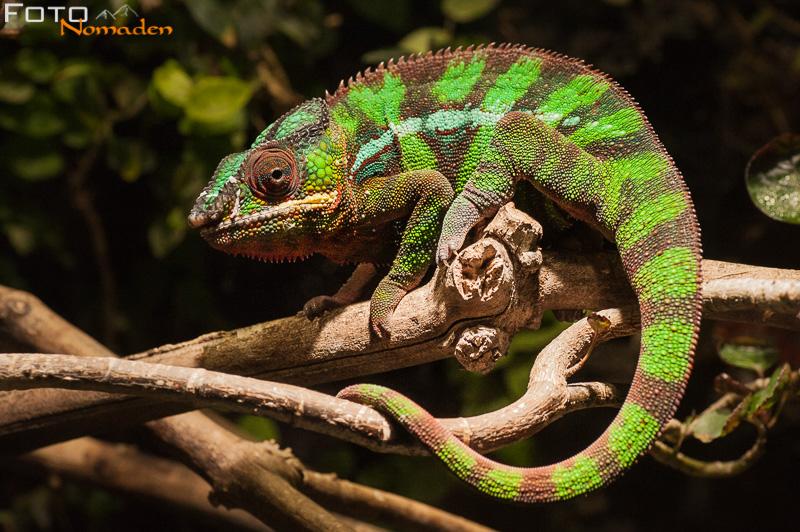 fotonomaden-chamaeleon-madagaskar
