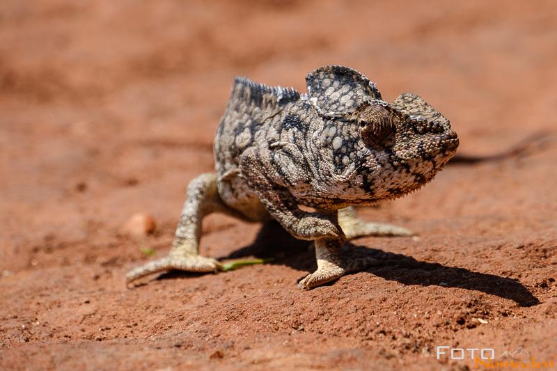 Madagaskar Reiseroute Fotonomaden Chamaeleon