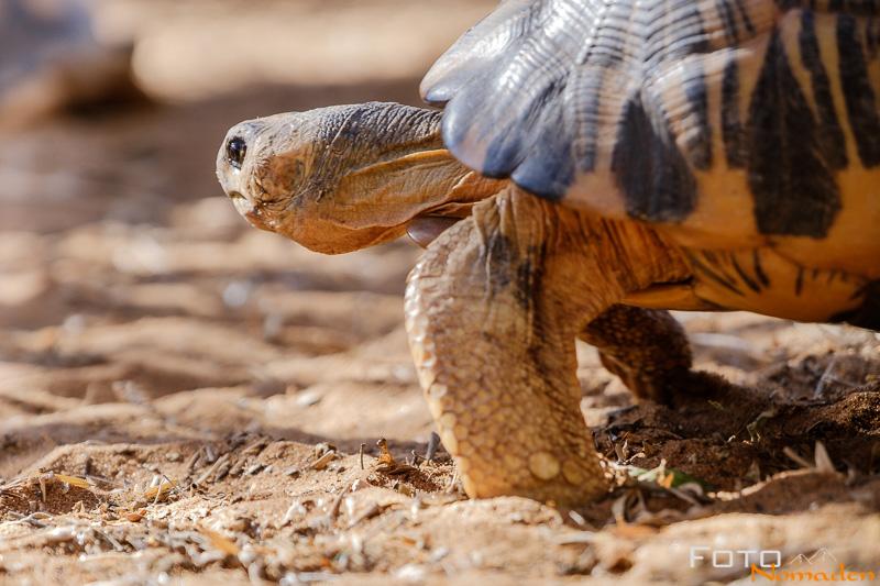 Madagaskar Reiseroute Fotonomaden Strahlenschildkroete Querformat