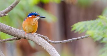 Kingfisher Madagascar