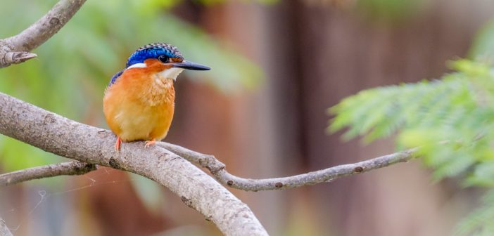 Kingfisher Madagascar