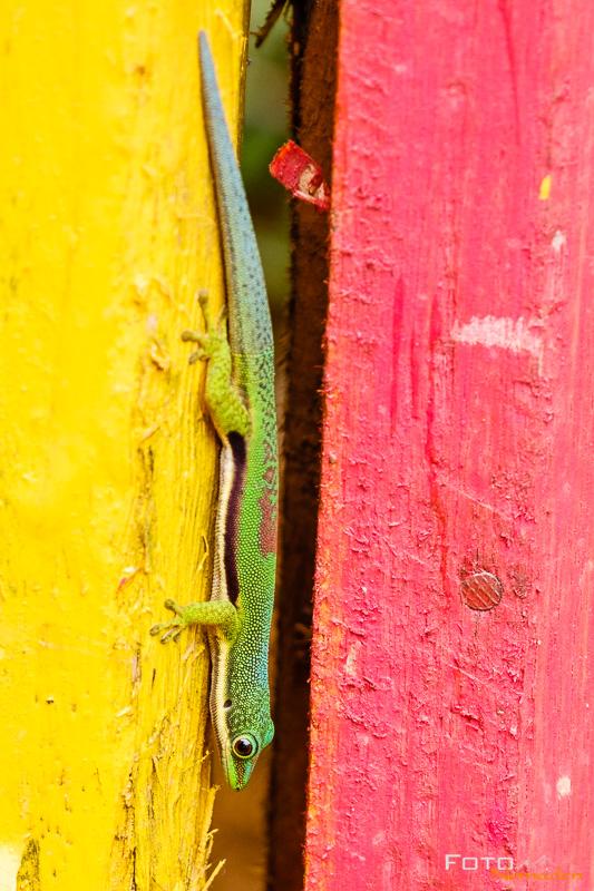 Fotonomaden Madagaskar Fotoreise Madagaskar Tag-Gecko
