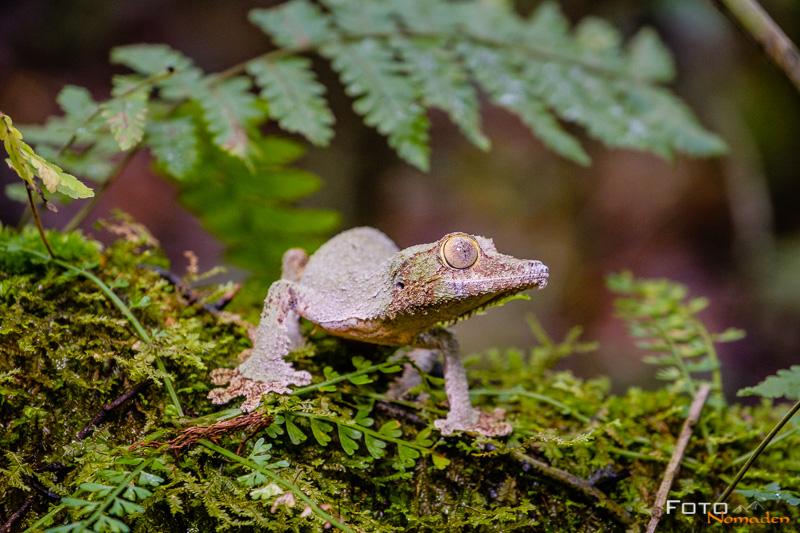 Fotonomaden Madagaskar Fotoreise Blattschwanzgecko
