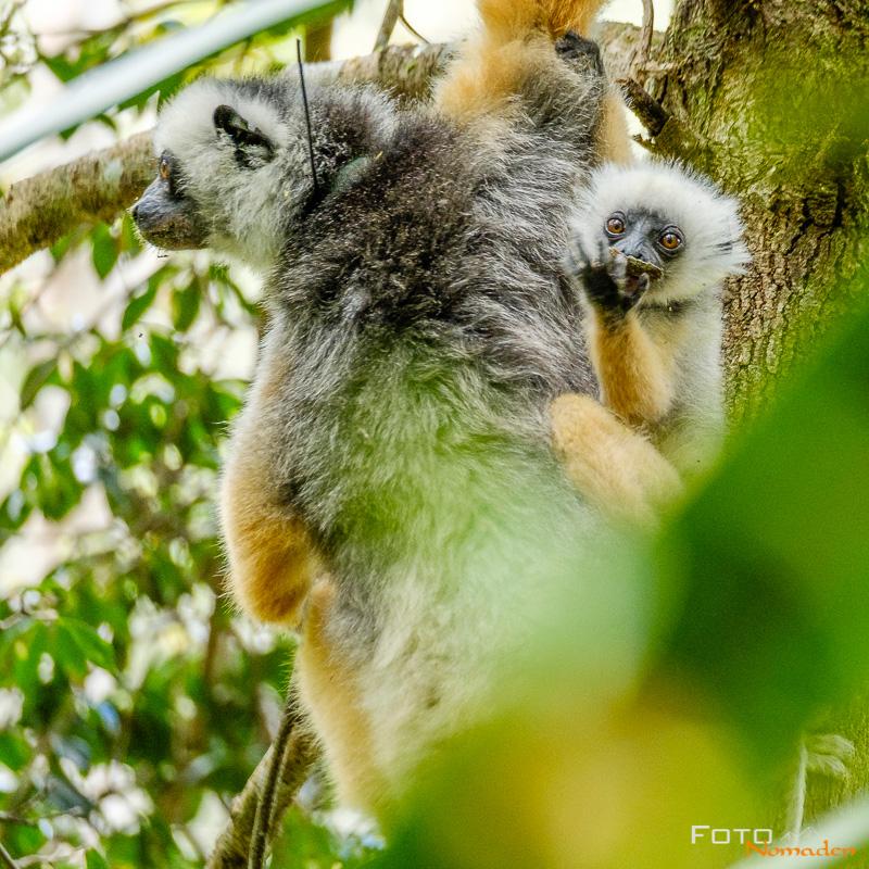Fotonomaden Madagaskar Fotoreise Diadem-Sifaka