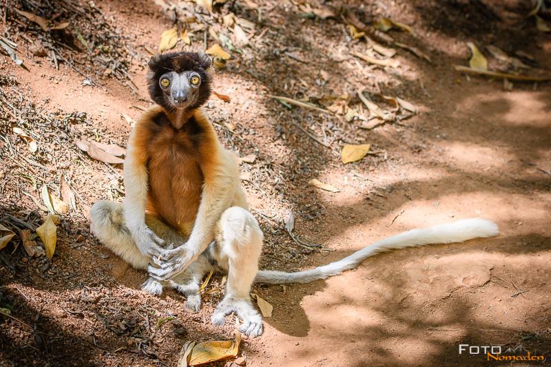 Fotonomaden Madagaskar Fotoreise Sifaka