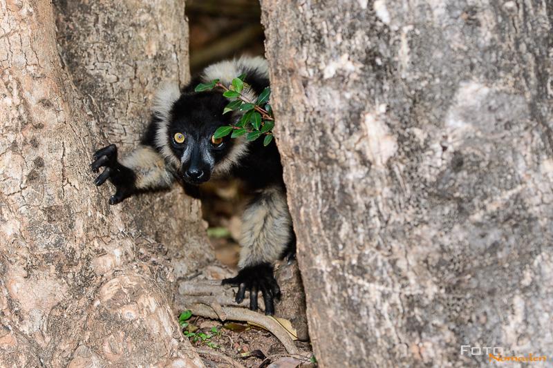 Fotonomaden Madagaskar Fotoreise Schwarzweißer Vari