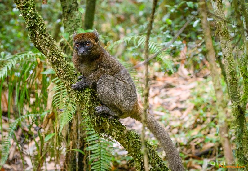 Fotonomaden Bambuslemur Madagaskar Fotoreise