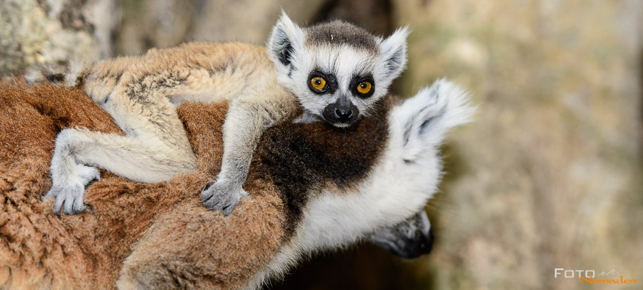 Babylemur in Anja