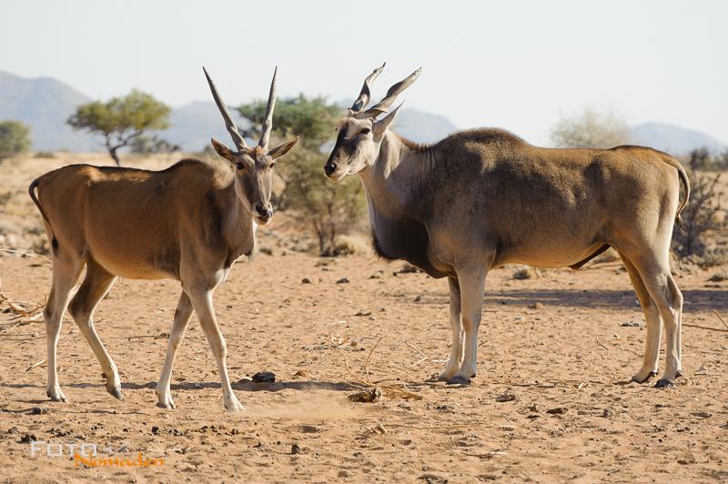 Fotonomaden Namibia Reiseroute Elenantilope