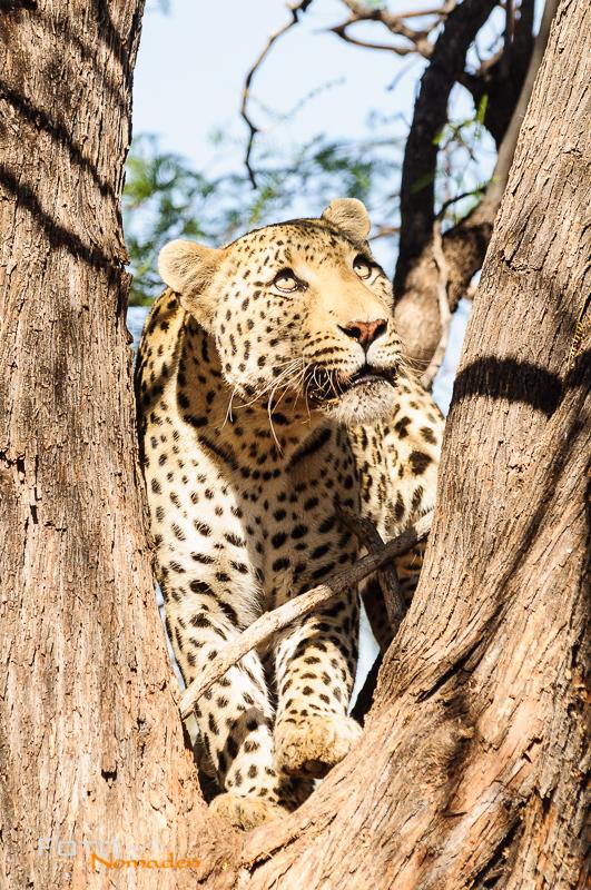 Fotonomaden Namibia Reiseroute Leopard