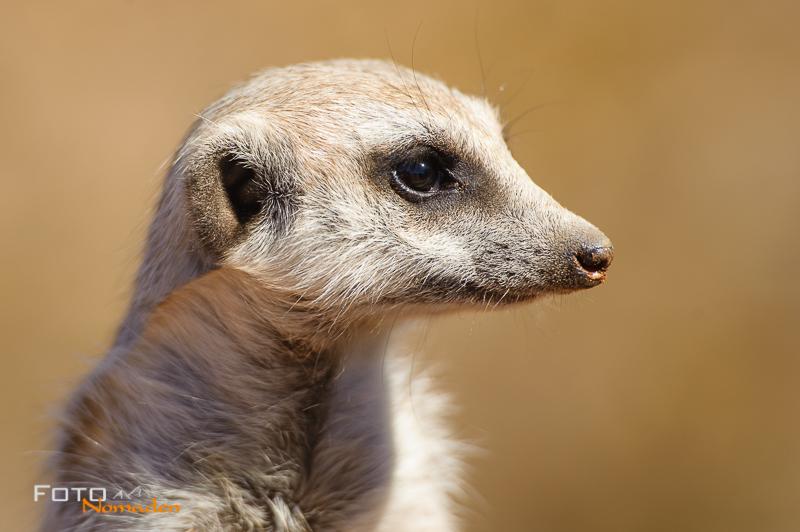 Fotonomaden Namibia Rundreise Erdmännchen