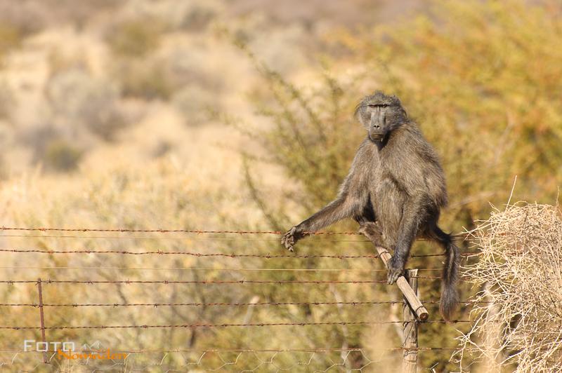 Fotonomaden Namibia Rundreise Pavian