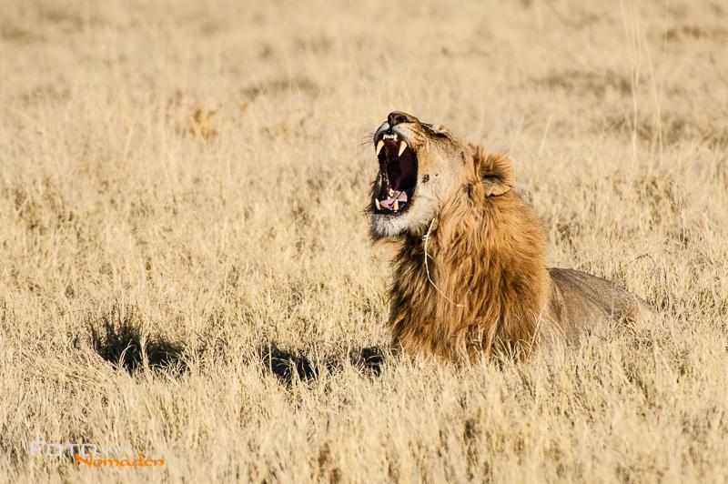 fotonomaden namibia rundreise löwe