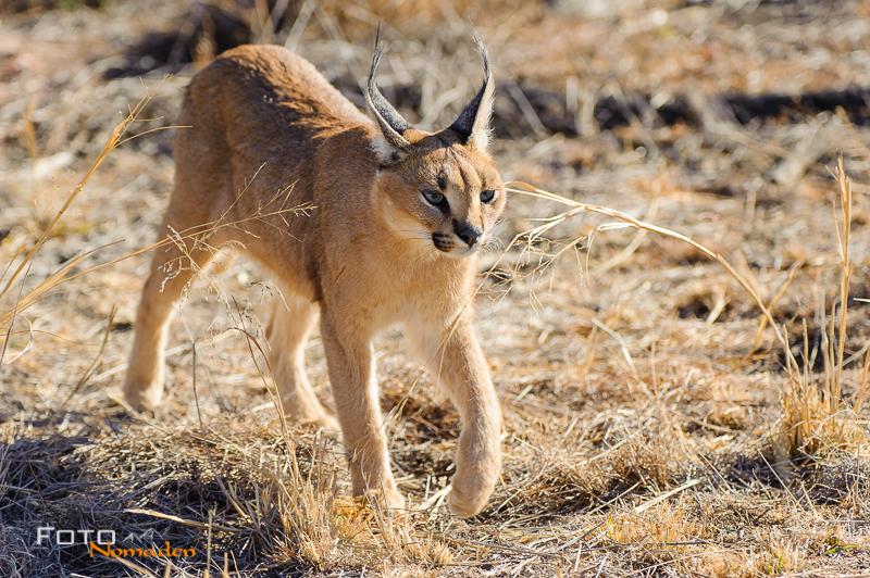 fotonomaden namibia rundreise wüstenluchs