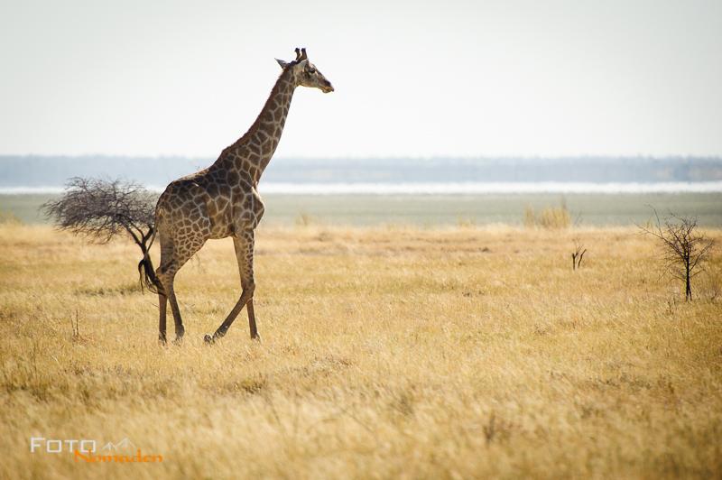 fotonomaden namibia rundreise etosha giraffe