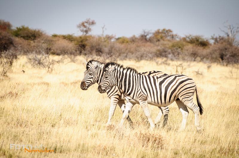 fotonomaden namibia rundreise zebras