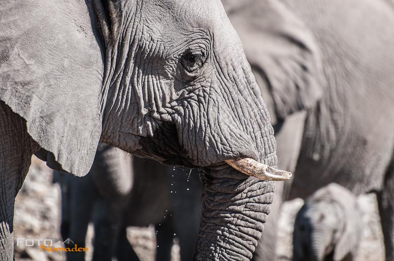fotonomaden namibia rundreise etosha elefant
