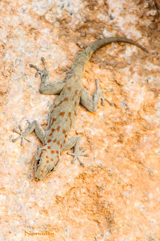 fotonomaden namibia rundreise gecko