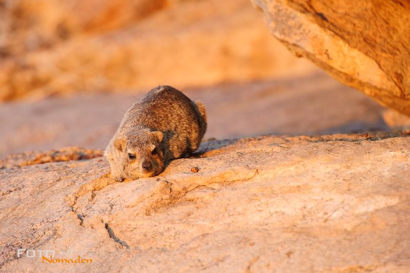 fotonomaden namibia rundreise klippschliefer