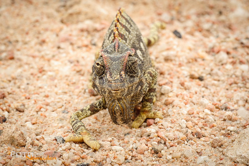Fotonomaden Namibia Reiseroute Chamäleon