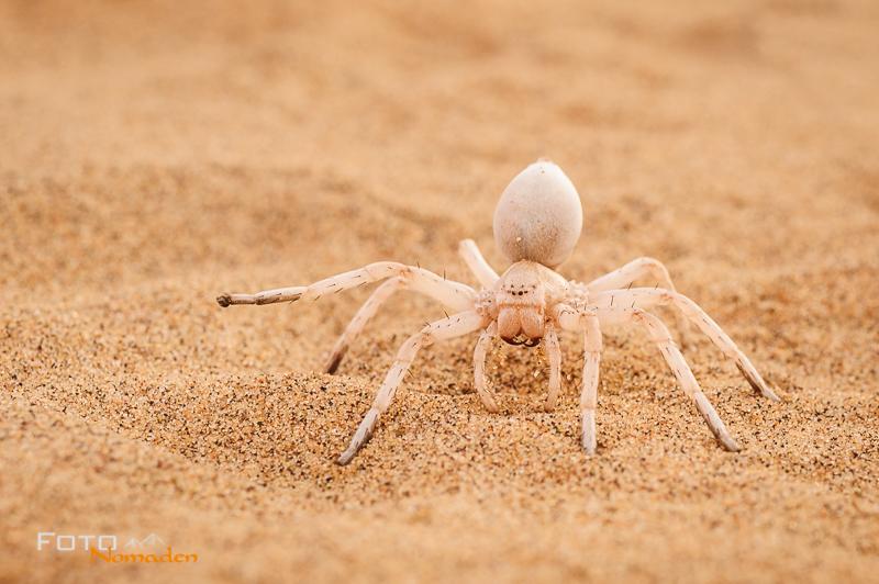 Fotonomaden Namibia Reiseroute Radschlagende Weißspinne