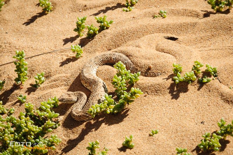 Fotonomaden Namibia Reiseroute Zwergpuffotter