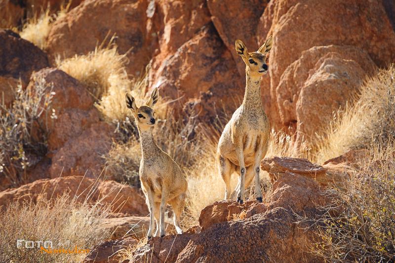 Fotonomaden Namibia Reiseroute Steinböckchen