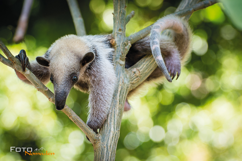 Fotonomaden Querformat oder Hochformat Ameisenbär Junges